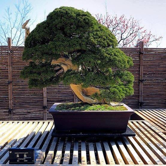 Muthis Bilim On Twitter 250 Yasindaki Bonsai Agaci