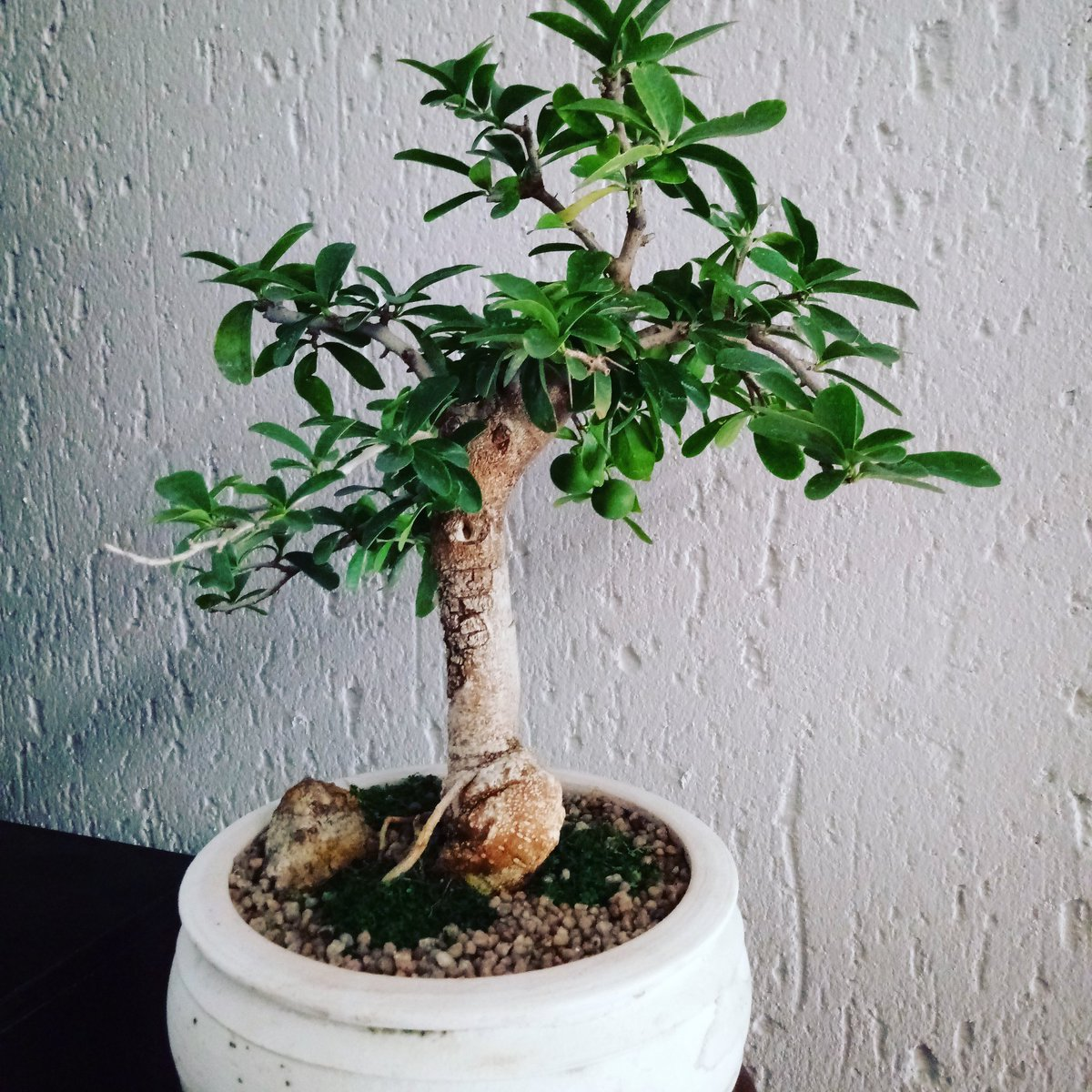 Haylstorm On Twitter Spoiled Ourselves With A Fruiting Kei Apple Bonsai Tree 3 It S So Beautiful Don T You Think Bonsai Minifruit