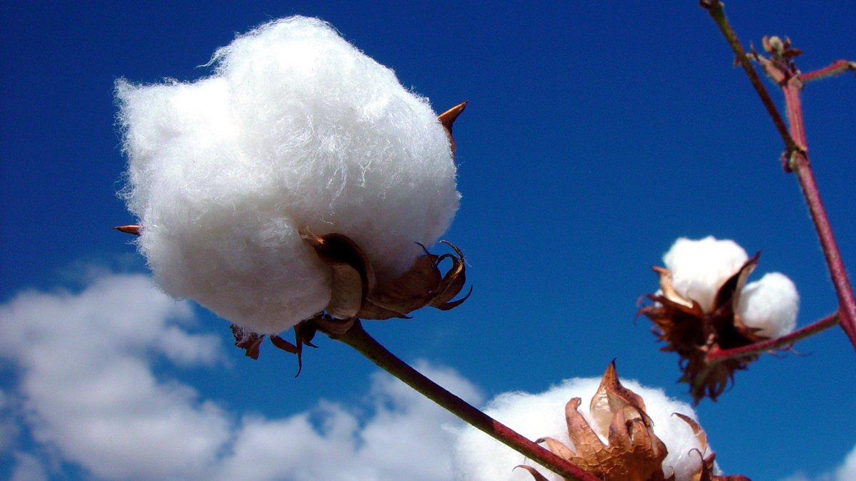 cotton culin plan ahead - 1200×675