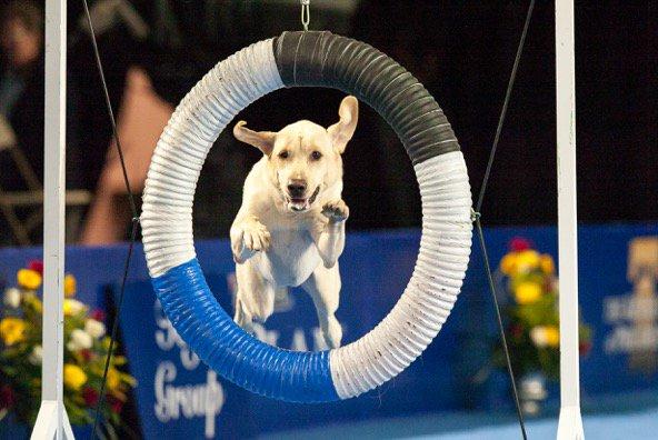 national dog show thenatldogshow twitter