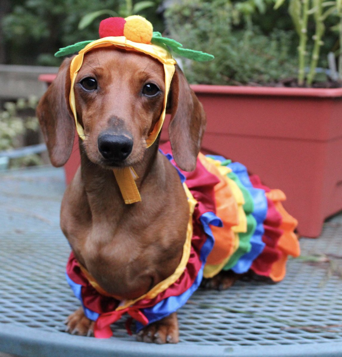 Weiner Dog Halloween Costumes.Bailey Hunter On Twitter Confession Time My Wiener Dog Has So Many Halloween Costumes That She Wears A Different Outfit Each Day Leading Up To October 31st Https T Co M2qyjs0xod