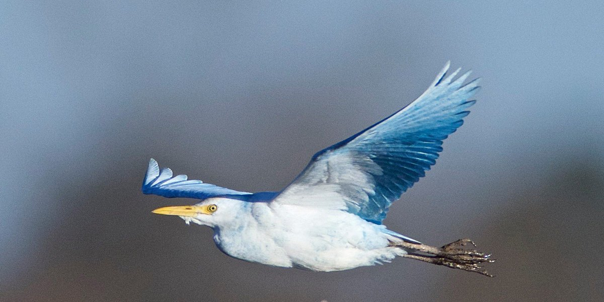 Theyre baa-ack... We at Birding magazine and the @ABA continue to receive reports of BLUE CATTLE EGRETS--some dyed blue, some decked out in blue ribbons, and some perhaps naturally blue. What the heck is going on? Frank Izaguirre explores: tinyurl.com/y8qatzze