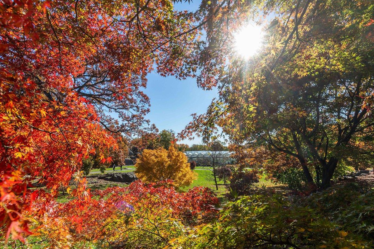 New York Botanical Garden On Twitter The Steinhardt Maple