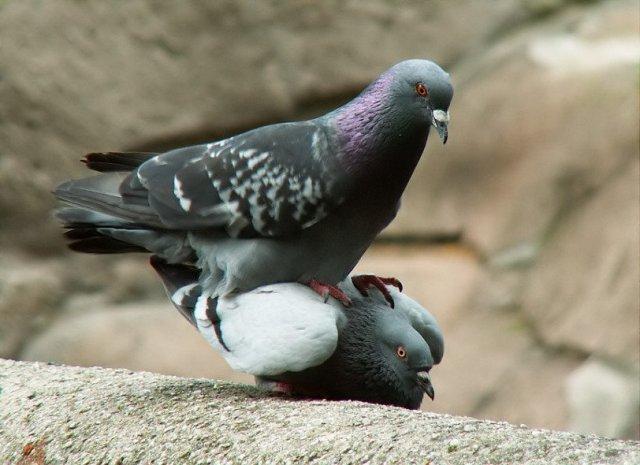foto-golubi-porno