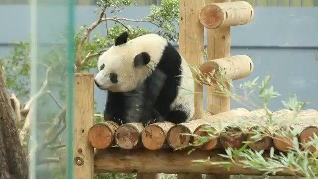 上野動物園のジャイアントパンダ「シャンシャン」が13日、独り立ちに向け、母シンシンと離れて午前中を過ごしました。 記事→https://t.co/bDoNLQ3G63  #シャンシャン #パンダ #上野動物園 https://t.co/VG5qGda2Y3