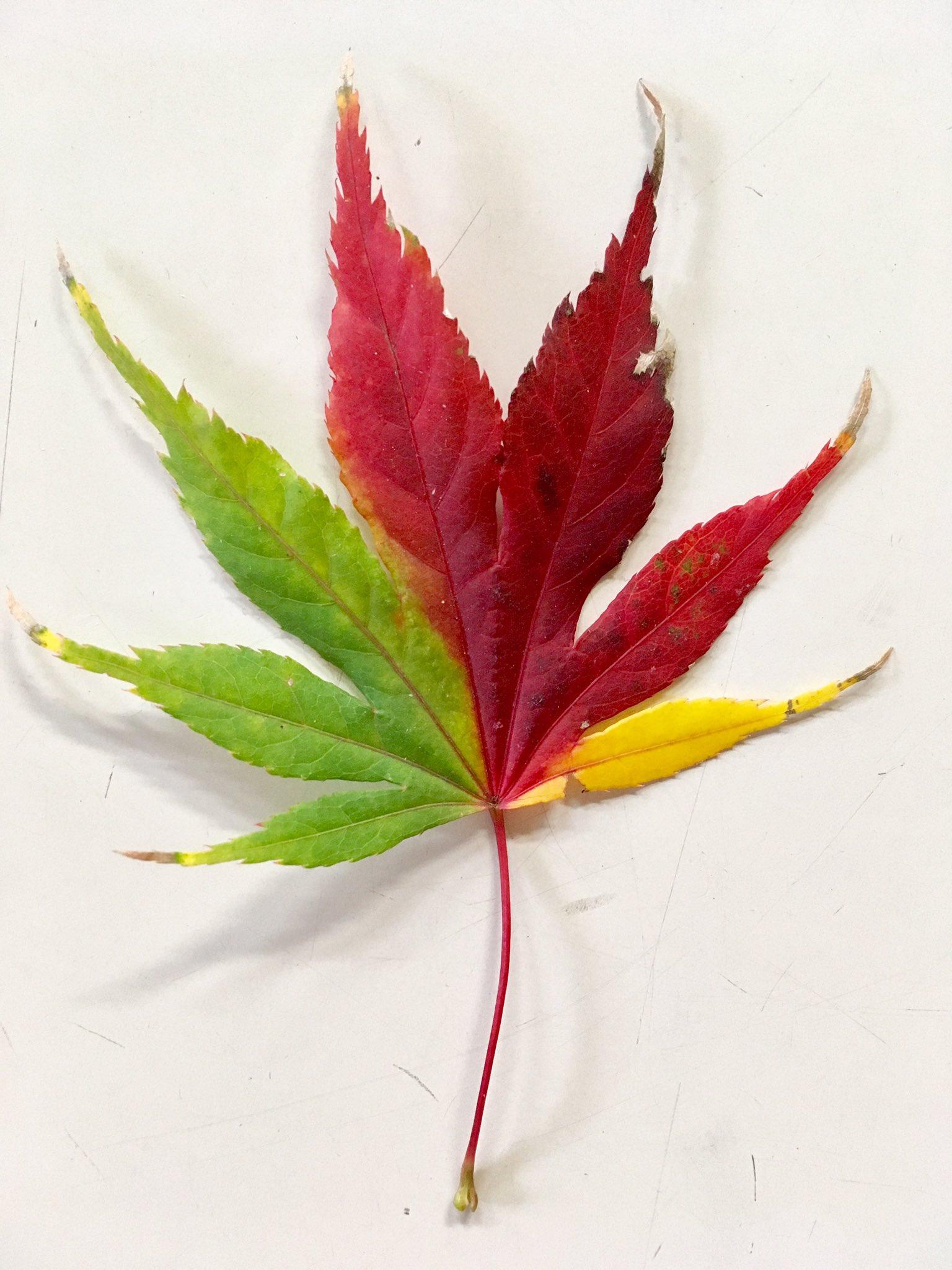 珍しいもみじの葉を発見ww一枚に色が三つ!?とても美しい「三色もみじ」ww