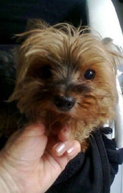 Sa Yorkie Rescue On Twitter Western Cape Cape Town Loving