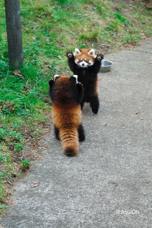男と男のプライドをかけた戦い #大森山動物園 #レッサーパンダ #かんた #ひなた