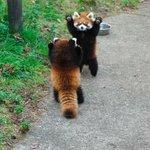 レッサーパンダ同士のプライドをかけた熱き戦いの様子。こちらはなんだか癒されちゃう。