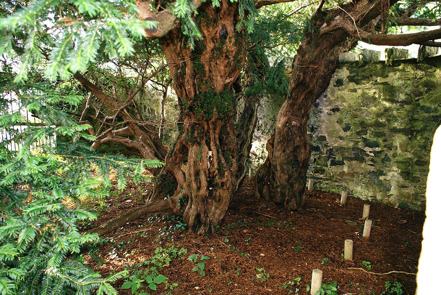 The oldest tree in the UK is believed to be the Fortingall Yew in Scotland. It&#39;s thought to be 5,000 years old!#TuesdayThoughts <br>http://pic.twitter.com/RVDbkGlg8M