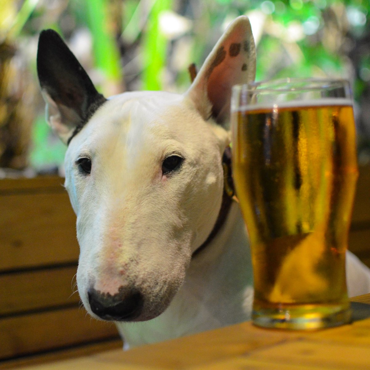 Peekabeer  . . . #bullterrier #bullterrierlove #bullterrierpics #bullies #doglover #dogoftheday #dogmodel #doglife #mansbestfriend #ilovemydog #ブルテリア#traveldog #dogtravel #dogsoftwitter #dogsofinstagram<br>http://pic.twitter.com/Cgp4YgcTQ5