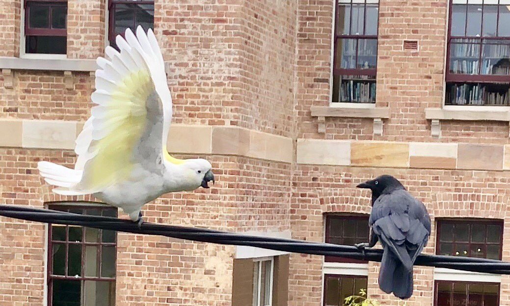 So we had a bit of birdy biffo this arvo. Cockatoo v raven. Cocky won easily.  ⁦@ParrotOfTheDay⁩ <br>http://pic.twitter.com/La6a644Tyw
