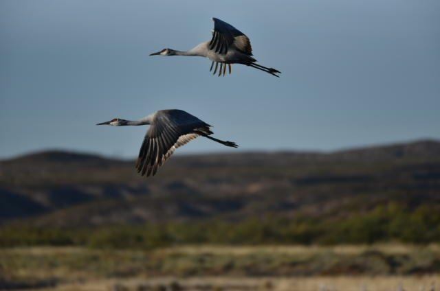 Cranes on the move at Bosque Del Apache...  📸: Shawn P #nmwx #NewMexico #NewMexicoTRUE