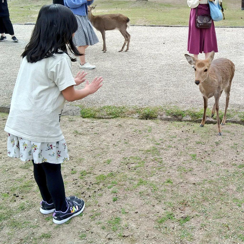 奈良の鹿がせまって来た時の回避の仕方 逃げると付いてくる上に他の鹿も寄ってくるので、手をパーにして「(鹿せんべい)持ってないよ!」と示すとサッとターゲット変えてくれます。