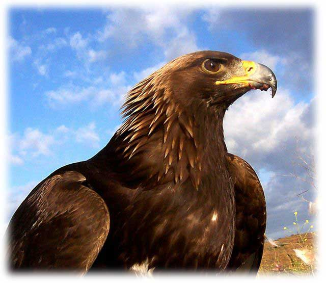 Vermont State Parks On Twitter Did You Know That Putney Mountain Is A Popular Hawk Watch In Southern Vermont This Year They Ve Seen A Record Number Of Golden Eagles Super Beautiful