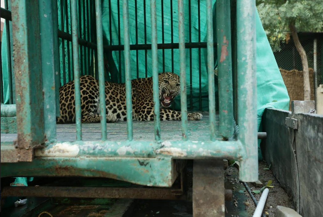 Leopard that had entered Gujarat capital and secretariat premises captured