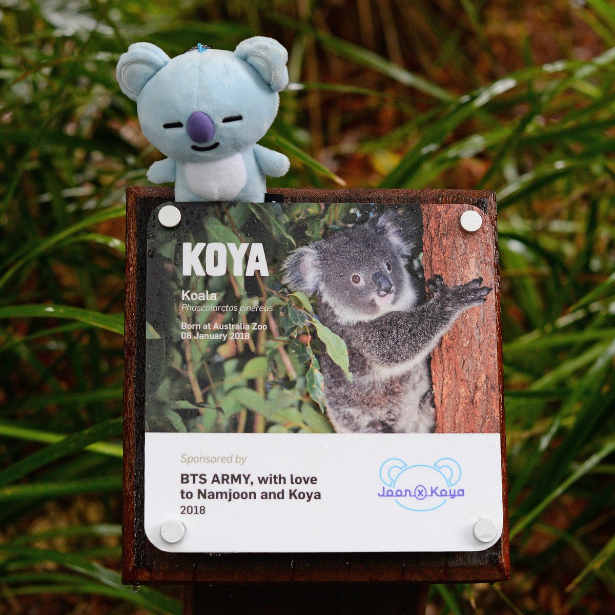 Introducing Koya the koala joey🐨Koya received her name from the BTS ARMY Australia in honour of Namjoon from the band, #BTS, who created the cartoon character 'Koya.' This gorgeous girl is loving life here at #AustraliaZoo where she will sleep up to 20 hours a day! What a cutie!