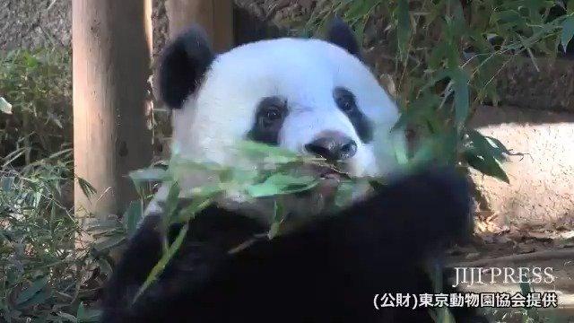 上野動物園が公開した11月2日撮影のジャイアントパンダ「シャンシャン」と母親「シンシン」の映像です。(公財)東京動物園協会提供  #シャンシャン #パンダ #上野動物園 https://t.co/rnJvSAmGmo