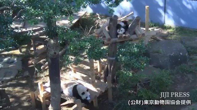 上野動物園が公開した、やぐらの上で休息するジャイアントパンダ「シャンシャン」と母親「シンシン」の映像です。11月2日撮影。(公財)東京動物園協会提供  #シャンシャン #パンダ #上野動物園 https://t.co/xbrntuEb82