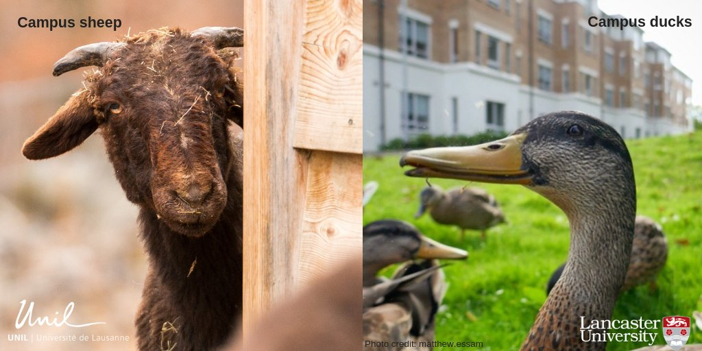 Today we are welcoming colleagues from our partner institution, the University of Lausanne @unil in Switzerland. The two universities have lots in common, including famous campus wildlife 🐑🦆