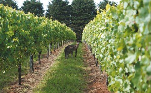 """Czy wiecie, że w Australii kangury mieszkają w winnicach? Przeczytajcie tekst naszej koleżanki Agnieszki Wyszomirskiej, a dowiecie się wielu ciekawych informacji o kontynencie """"Down Under"""" 🐨 https://www.ambra.com.pl/kocham-wino/wszystko-o-winie/o-tym-sie-mowi/kangury-naprawde-mieszkaja-w-winnicach-N1uKPC…"""