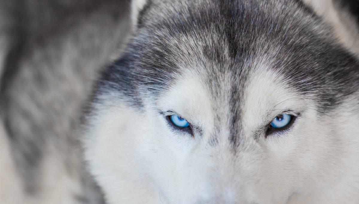 """Antonianos on Twitter: """"Resuelto el misterio de los ojos azules de los  #huskiessiberianos La duplicación del cromosoma 18 y su ubicación en el ADN  del #perro son las razones que explican la"""