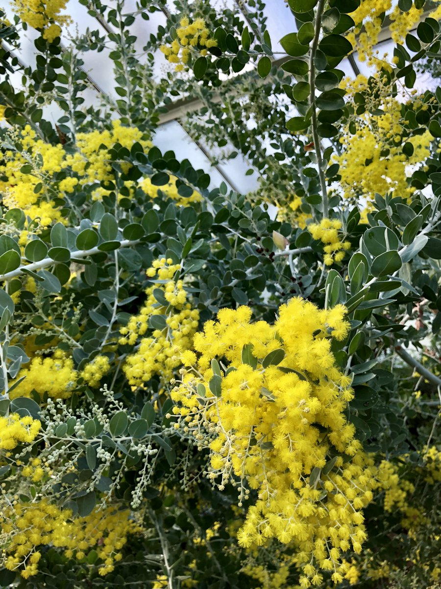 Kew Gardens On Twitter Yellow Flowers Of The Acacia Podalyriifolia