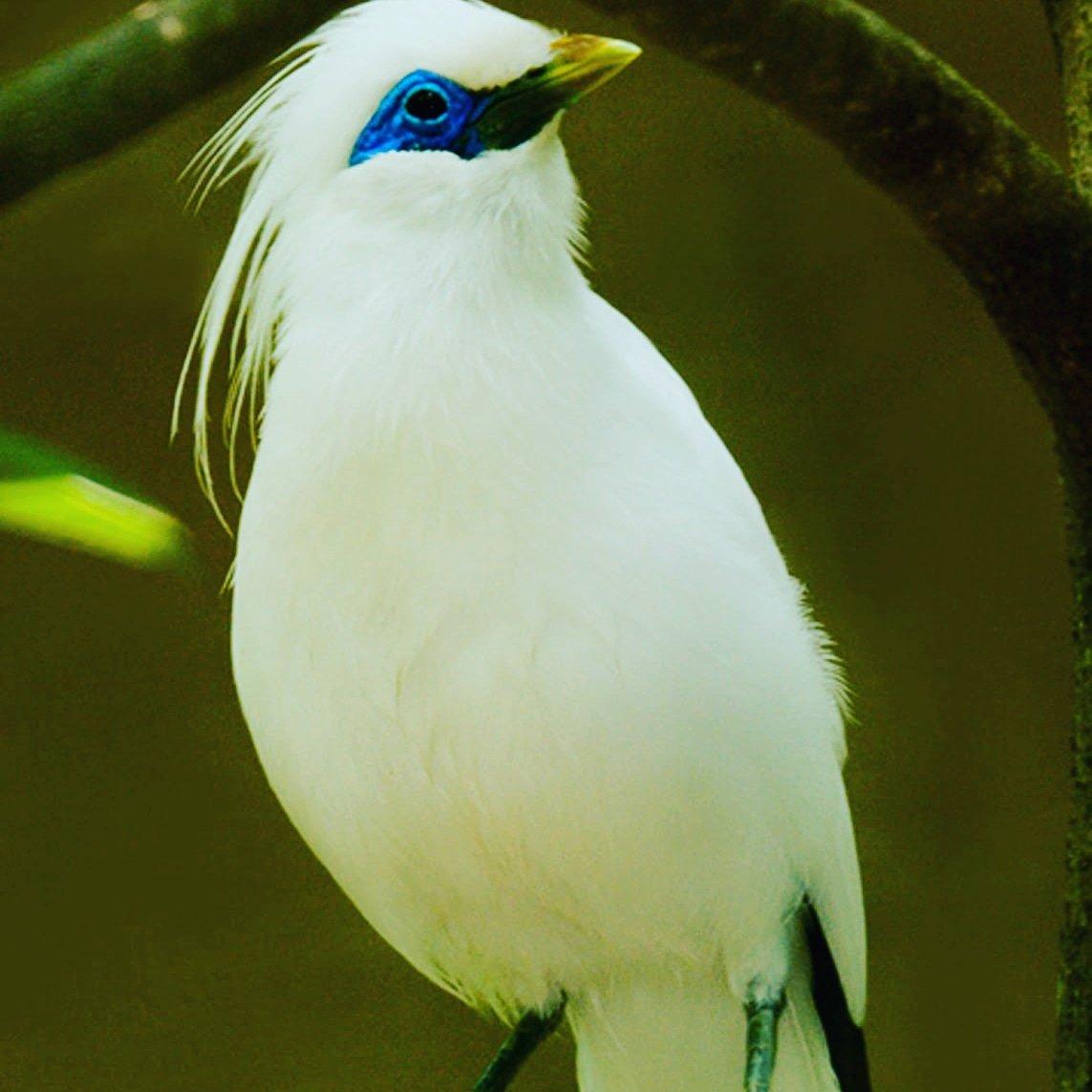 700 Gambar Hewan Burung Jalak Terbaik
