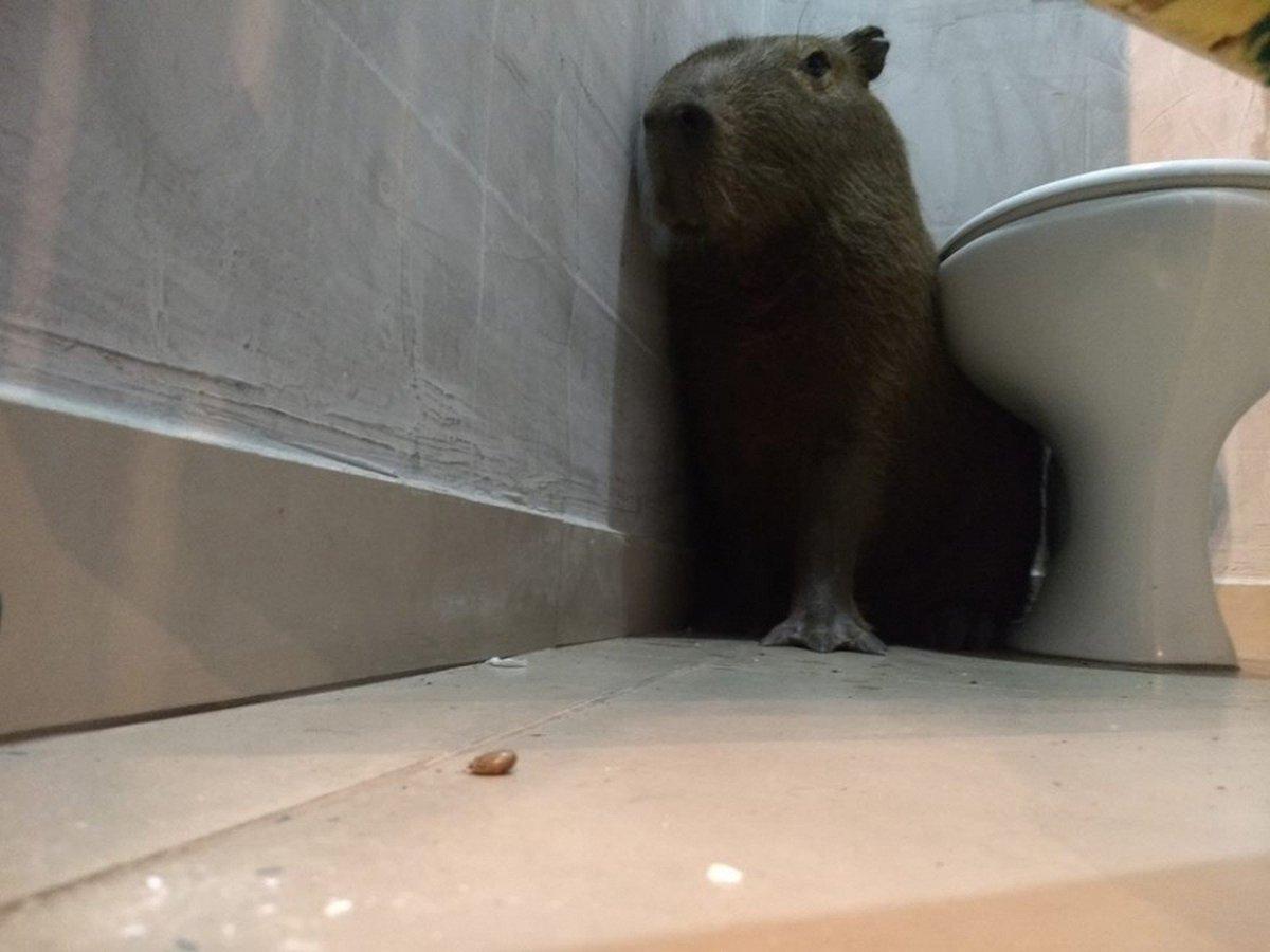 Funcionária se assusta ao encontrar capivara no banheiro de lanchonete: 'Achei que fosse lobisomem' https://t.co/pXfqHJJVD8  #G1