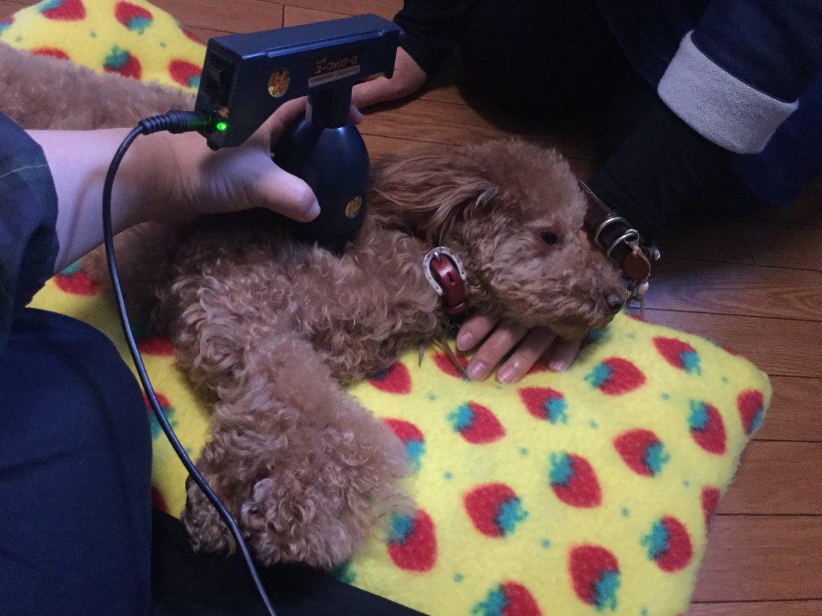 ルーク3歳 2回目の温灸 地震の後熟睡できなかったけど 前回の後はご飯以外朝まで熟睡だったそうです(╹◡╹) #プードル #犬のいる暮らし  #犬の健康 #トイプードル #プードル大好き  #びわ温灸 #びわの葉温灸 #びわの葉温熱療法 #自然療法 #犬温灸 #わんちゃん温灸 #犬灸 #はり灸樂真呂と犬 #Dogpic.twitter.com/DUItv8Kml5