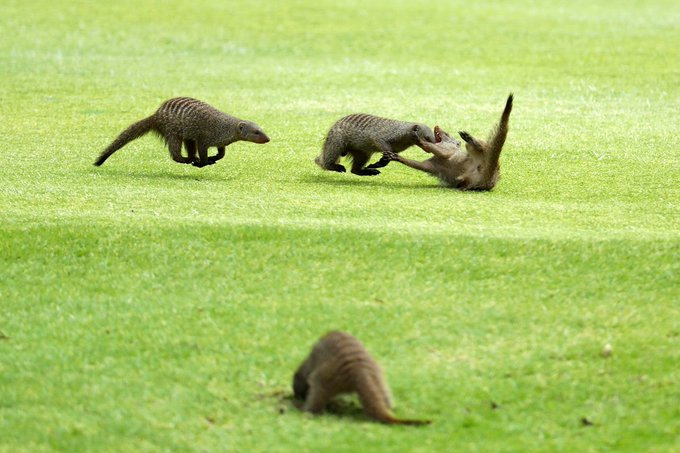 The mongoose never miss the Nedbank Golf Challenge! #NGC2018 #RolexSeries Photo