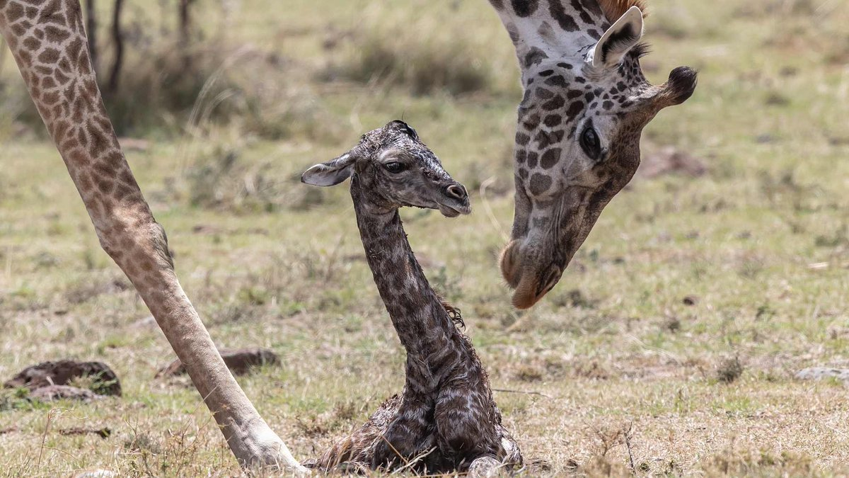 Photographer captures a giraffe🦒 giving birth in #Kenya https://t.co/Cy8NX6LFM2