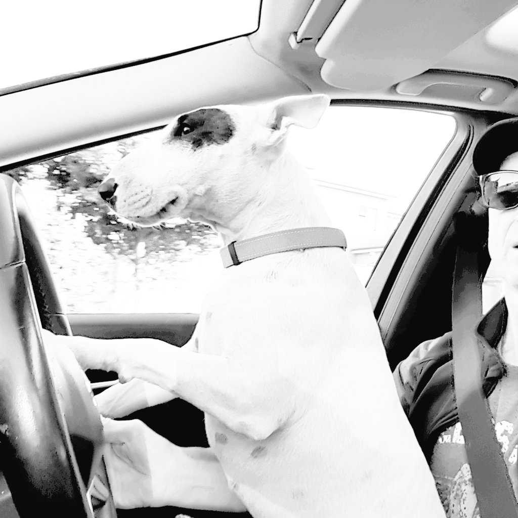 | &quot;I don&#39;t have the patience to go for &#39;walkies&#39;, in order to get my #BlackEyeColdBrew fix. I NEED it now! Strap in!&quot;   @BEN_BullTerrier #ColdBrew #UnleashTheBrewInYou<br>http://pic.twitter.com/6wm8ziS4gj