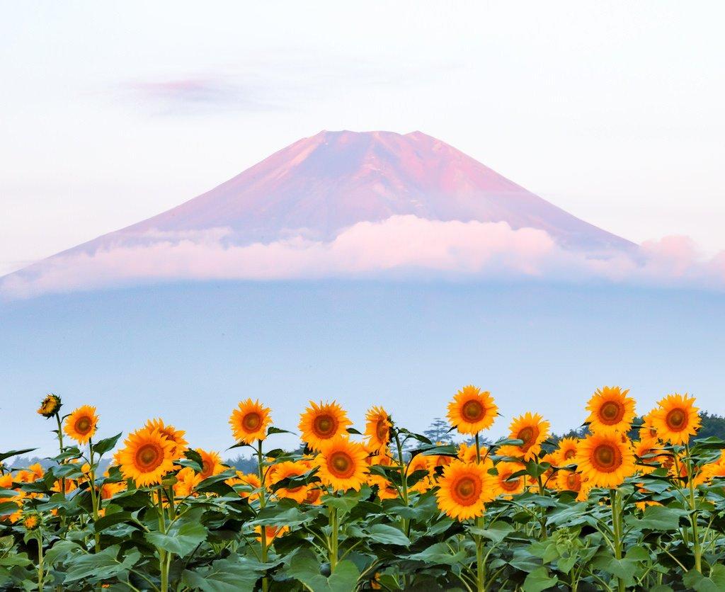Mount Fuji and sunflower🗻🌻 Shinichiro Saka