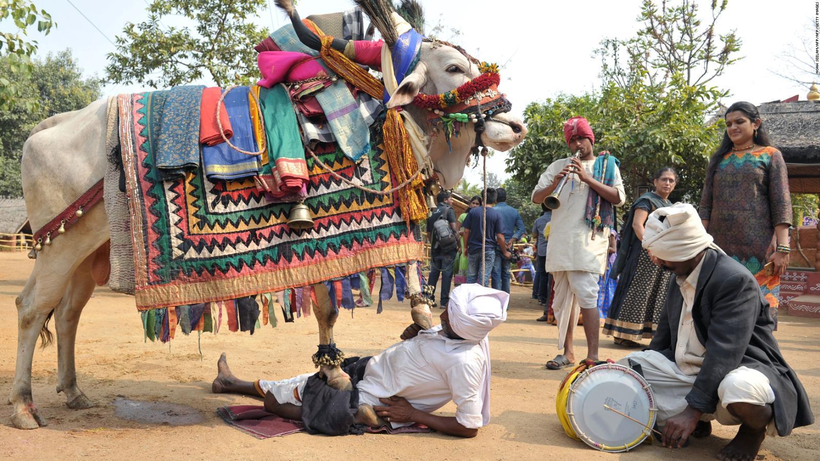 Cientos de indios se dejan atropellar por vacas para adorarlas https://t.co/QlA1oo0hgW https://t.co/pqrsZOx3ST