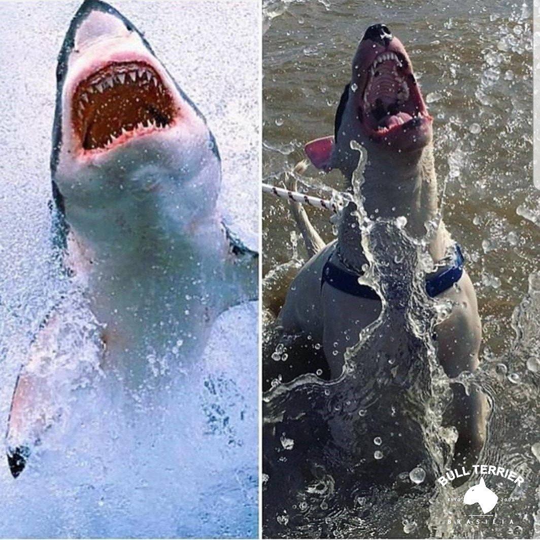 Shark Attack #bullterrierbrasilia #bullterrier #bull #bully #bullies #englishbullterrier #bulls #terrier #minibull #dogsoftwitter #dogsofinstagram #DogsofTwittter #dogstagram #DogsLover #dogsofinsta #dogsarefamily #dogs_of_instagram #dogsarelove #petstagram #PetLovers<br>http://pic.twitter.com/AKxHqV3ohC