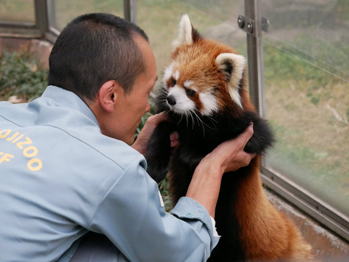 もうりんごはおしまいです。言い聞かせられるメロちゃん#王子動物園#レッサーパンダ