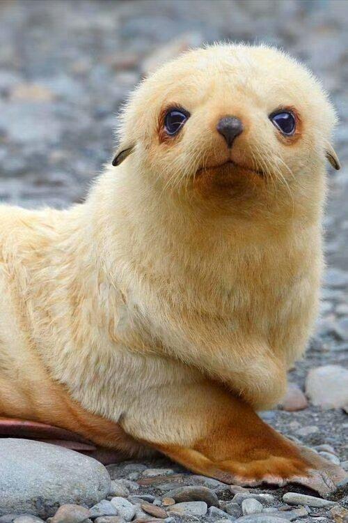White sea lions