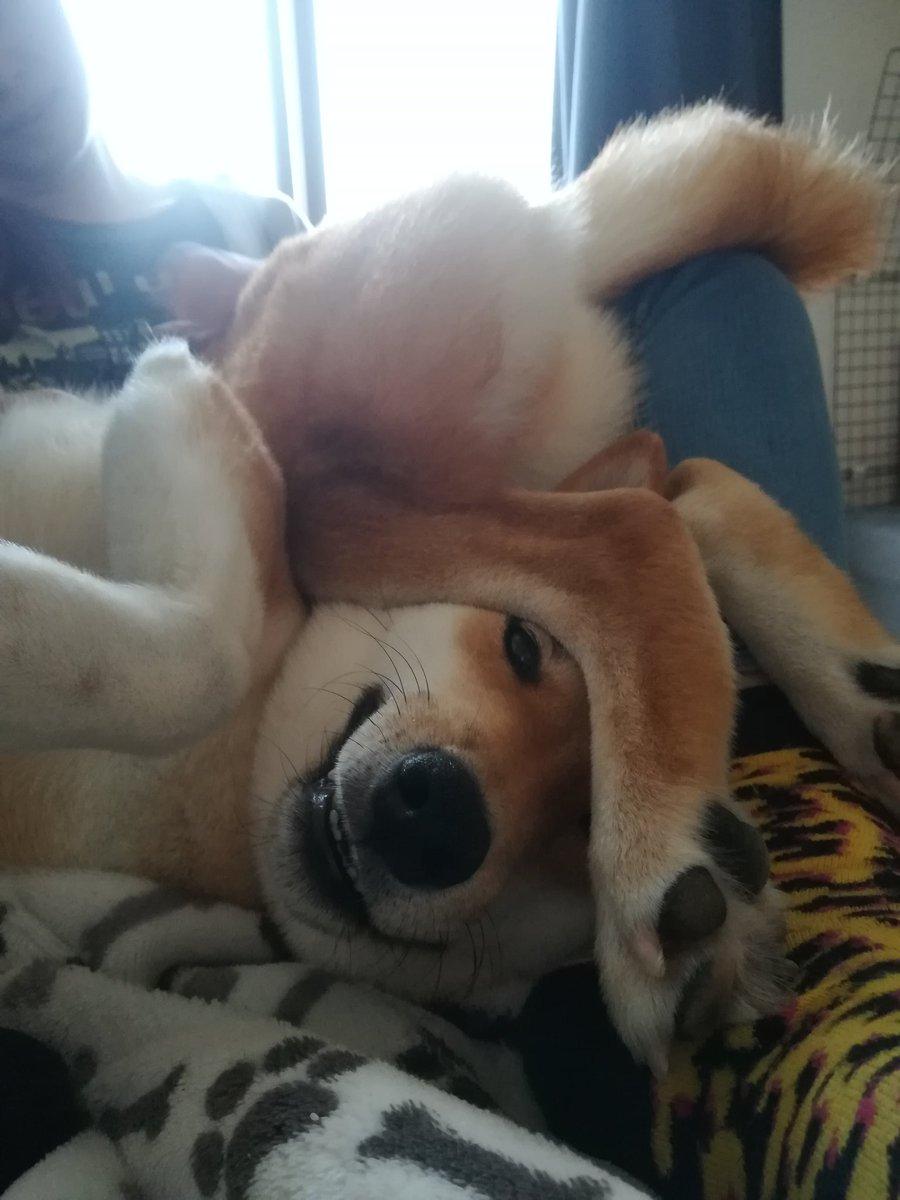 うちの犬、何がなんだか分かんないことになってた。  #柴犬 #shiba