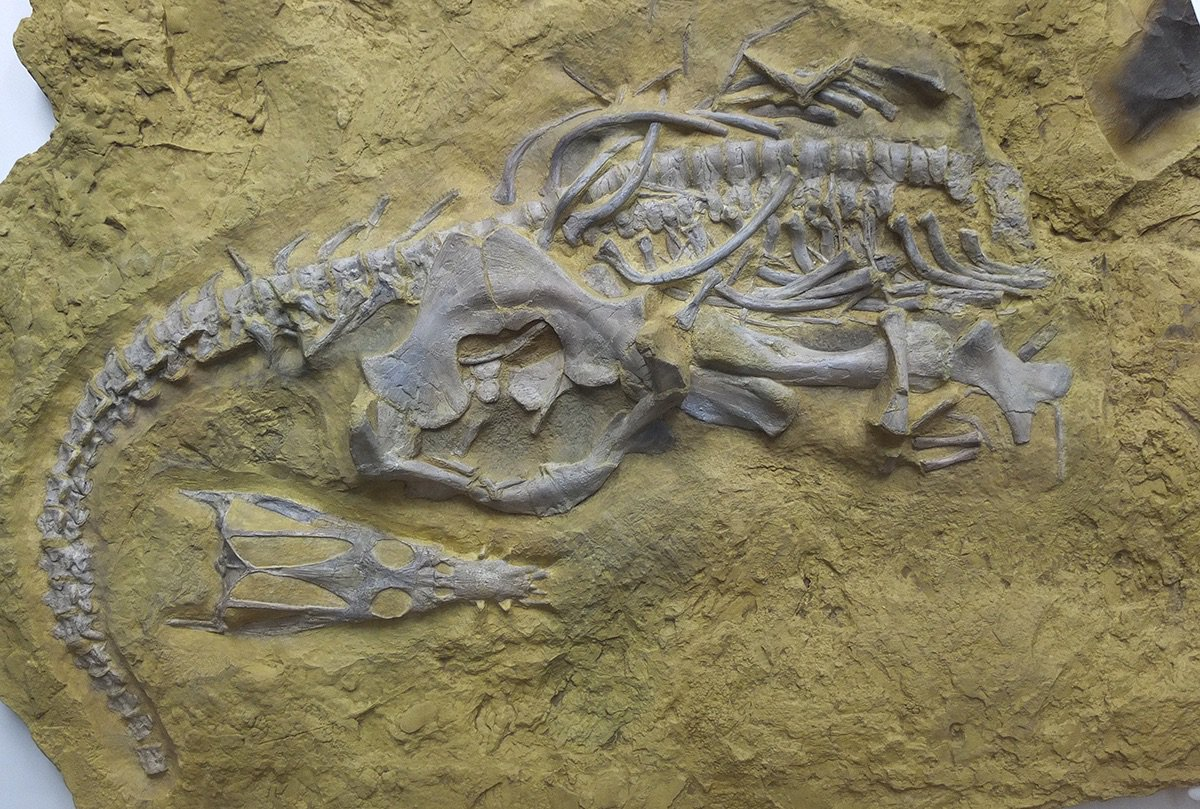 Happy #FossilFriday! Here's the sauropterygian Nothosaurus jagisteus from the Triassic Muschelkalk of Germany. Held at the Muschelkalkmuseum, Inglefingen. <br>http://pic.twitter.com/udrgoi7vJK