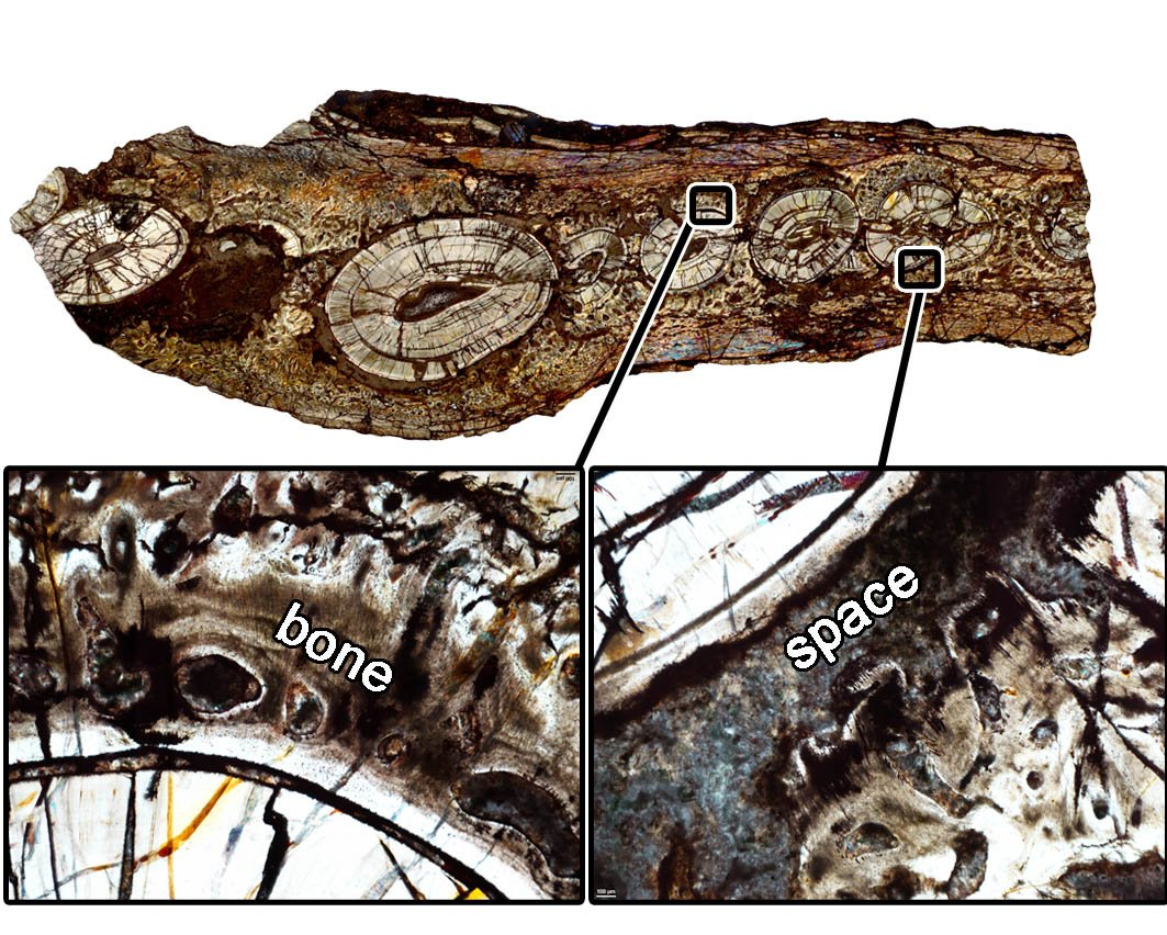 For #FossilFriday: the slide that started our paper in Proc B! A jaw cross-section of a therapsid shows some teeth fused in place and others suspended in sockets. That&#39;s because they are two stages in the lifecycle of a typical tooth! Mammals keep teeth in the &quot;earlier&quot; stage. <br>http://pic.twitter.com/i94QJWUowk