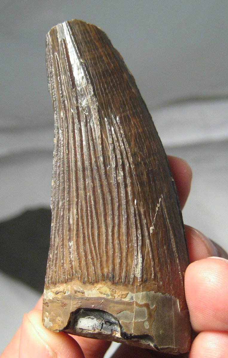 "Fossil Locator on Twitter: ""A massive ""Icthyosaur"" tooth from the Lyme  Regis region of the UK. I think it's actually a pliosaur tooth. Label from  the Victorian era. #fossilfriday… https://t.co/yf76L5ztcr"""