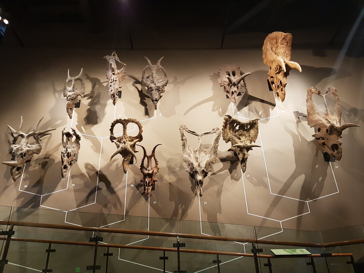 It&#39;s my final #FossilFriday from the US before returning to London on Sunday, and so here is the classic wall of ceratopsian skulls from the @NHMU in Salt Lake City #TeamOrnithischia #phdlife<br>http://pic.twitter.com/FpVSzMa6wb