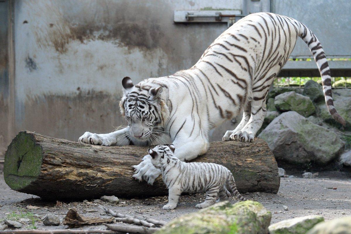 わが子につめとぎを伝授する母とりあえず母の真似をしたい子#伊豆アニマルキングダム