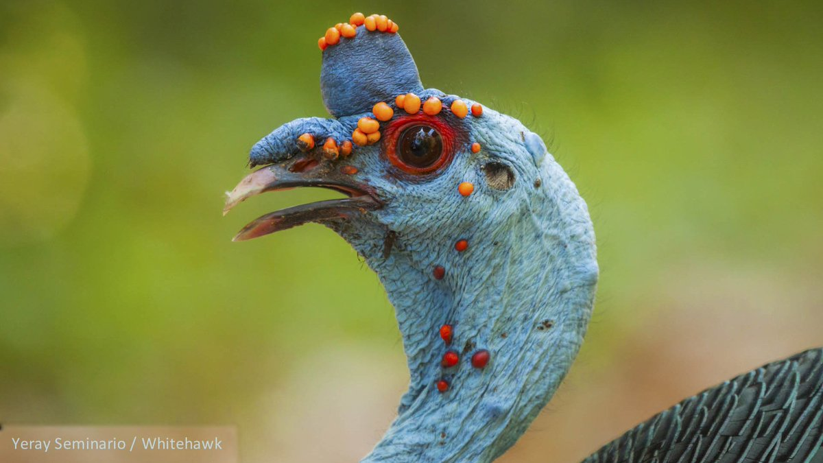 الديك الرومي Ocellated turkey  DrlhLjVX0AAyMHv