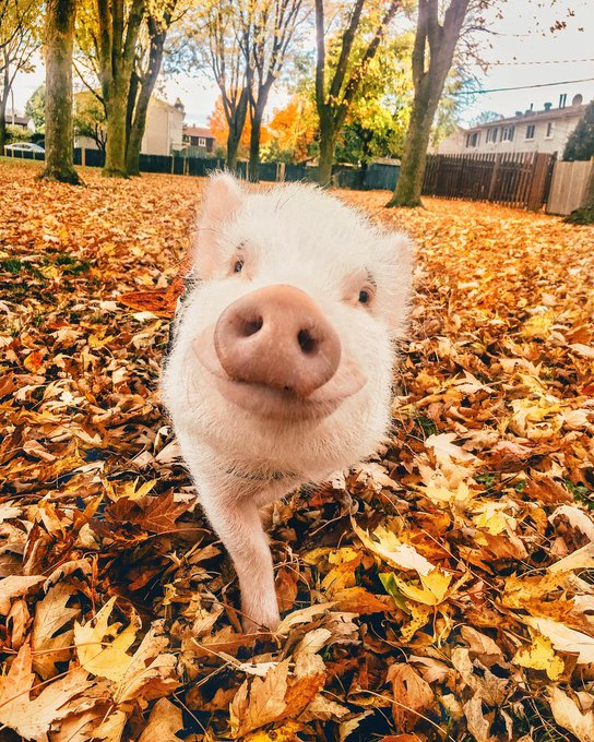 That #FridayFeeling when you're as happy as a pig in leaves! 🍂🐷 📷christopher_the_pig/IG Photo