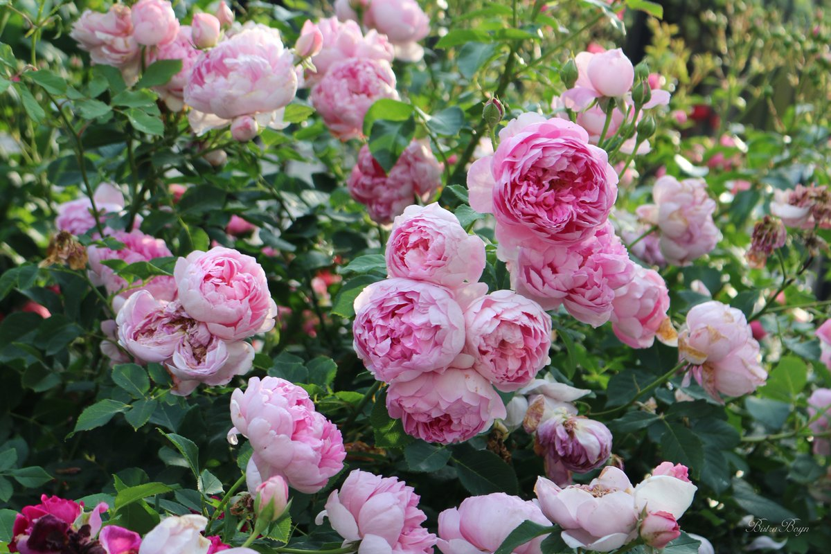 Bistra Boyn On Twitter The Ingenious Mr Fairchild Rose In My Garden 2018 English Collection Bred By Daustinroses