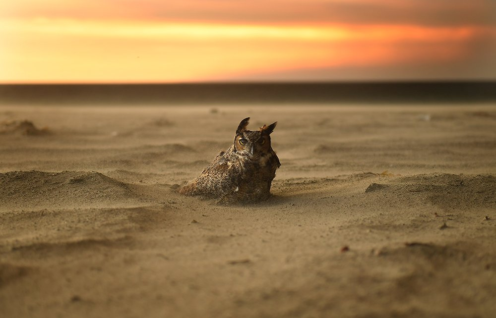An owl sits on the beach in Malibu as the Woolsey Fire approaches https://t.co/9D9meDcUL4