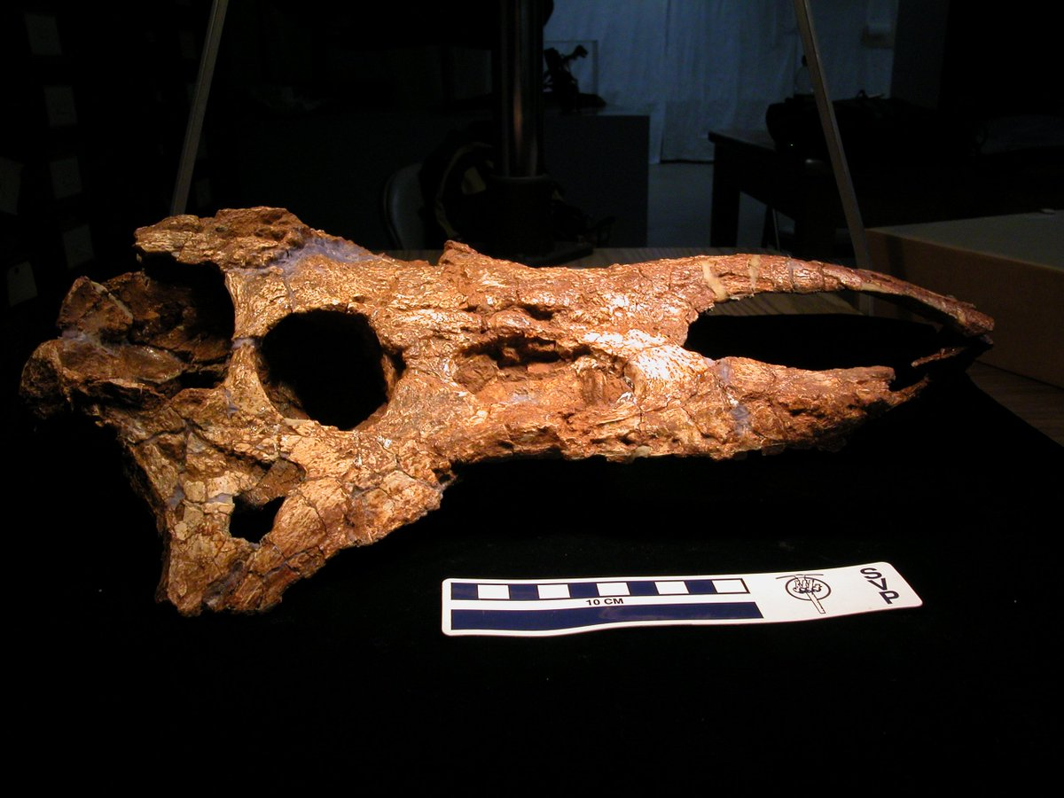 TTU P-9024 - Holotype skull of the aetosaur Desmatosuchus smalli from the Late Triassic of Texas. #FossilFriday <br>http://pic.twitter.com/yf1A0gWdwP