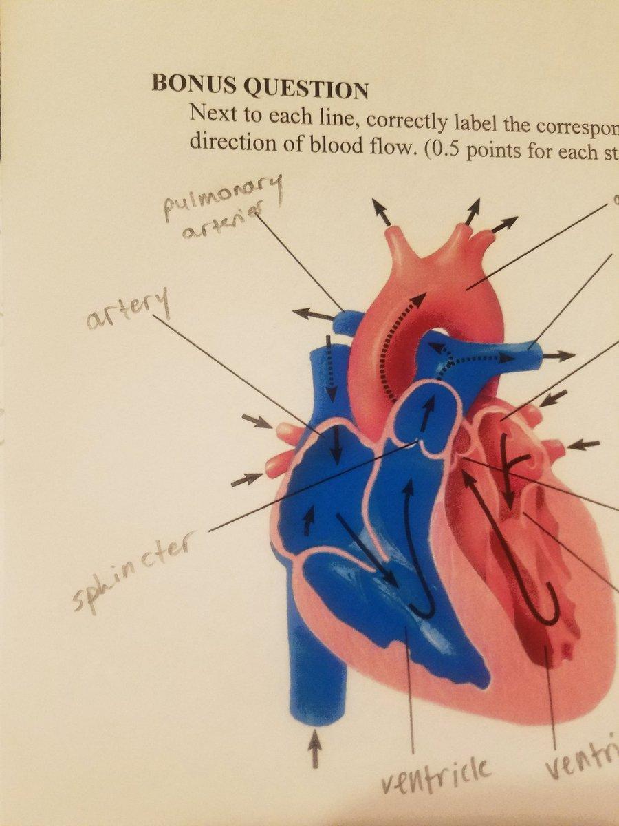 mammalian heart blood flow